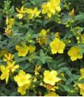 Hypericum Hidcote / Millepertuis Hidcote