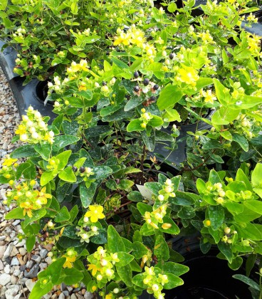Hypericum Inodorum Magical Sunshine / Millepertuis Magical Sunshine