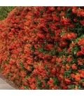PYRACANTHA fruits rouges / BUISSON ARDENT ROUGE