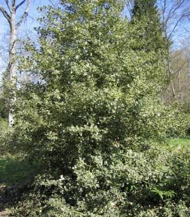 Ilex Aquifolium Argentea Marginata / Houx Panache Blanc