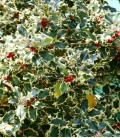 Ilex Aquifolium Mme Briot / Houx Mme Briot