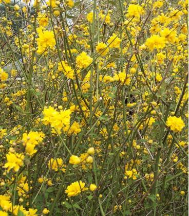 Kerria Japonica Pleniflora / Corete Du Japon Fleurs Doubles