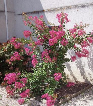 Lagerstroemia Indica / Lilas Des Indes Fleurs Rouges