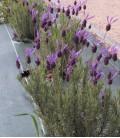 Lavandula Stoechas Pedunculata / Lavande Papillon