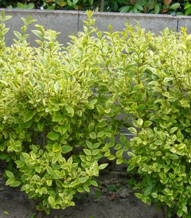 Ligustrum Ovalifolium Aureum / Troene Panache Jaune