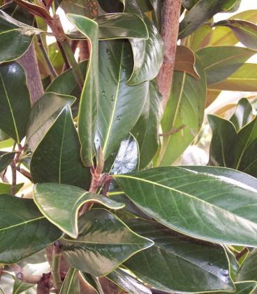 Magnolia Grandiflora Galissoniere