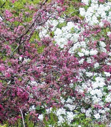 Malus Aldenhamensis / Pommier à fleurs Aldenhamensis
