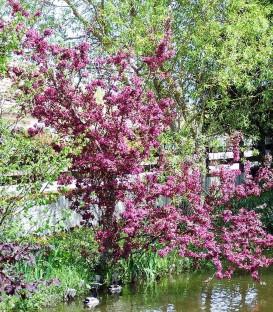 Malus Profusion / Pommier à fleurs Profusion