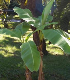 Musa Basjoo / Bananier à feuilles Vertes