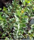 Osmanthus Heterophyllus (Vert)