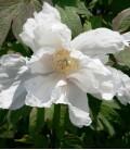 Paeonia Suffruticosa Blanche / Pivoine En Arbre Blanche