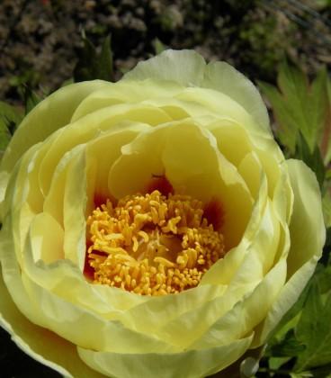 Paeonia Suffruticosa Jaune / Pivoine En Arbre Jaune