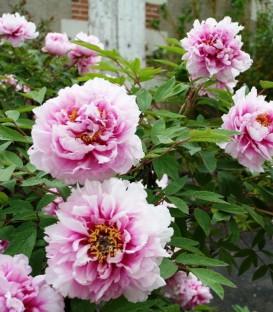 Paeonia Suffruticosa Rose / Pivoine En Arbre Rose