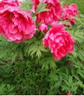 Paeonia Suffruticosa Rouge / Pivoine En Arbre Rouge