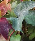 Parthenocissus Tricuspidata Robusta / Vigne Vierge Robusta
