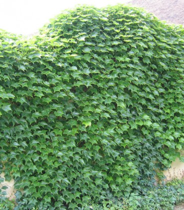 Parthenocissus Tricuspidata Veitchii / Vigne Vierge Veitchi Semis