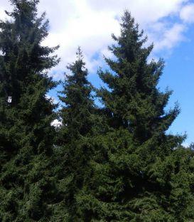 Picea Abies / Epicea Commun