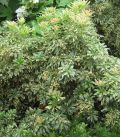 Pieris Forest Flame / Andromede Forest Flame