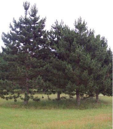 Pinus Nigra Austriaca / Pin Noir D'Autriche