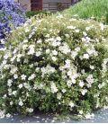 Potentilla Fruticosa Abbotswood / Potentille Abbotswood