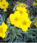 Potentilla Fruticosa Goldfinger / Potentille Goldfinger