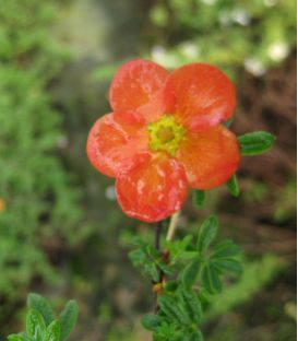 Potentilla Fruticosa Red Jocker / Potentille Red Jocker