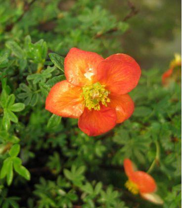 Potentilla Fruticosa Red Jocker / Potentille Red Jocker