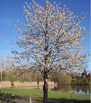 Prunus Avium Origine Forestière / Merisier