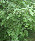 Prunus Cerasifera / Prunier Myrobolan