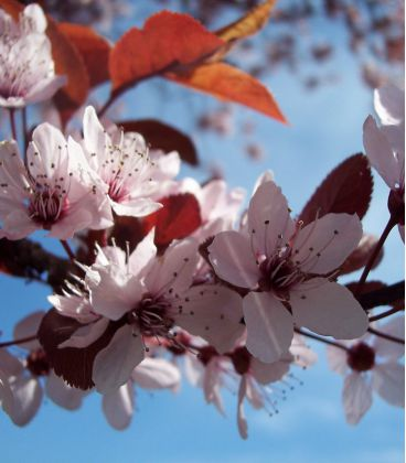 Prunus Cerasifera Pissardii / Prunier Pissard