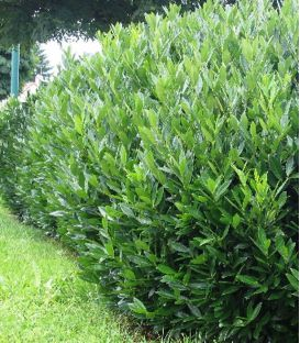 Prunus Laurocerasus Caucasica / Laurier Du Caucase