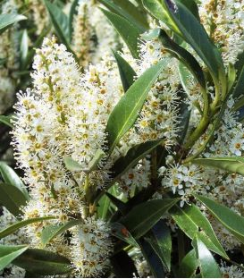 Prunus Laurocerasus Otto Luyken / Laurier Otto Luyken