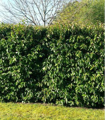 Prunus Lusitanica / Laurier Du Portugal