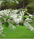 Prunus Padus / Cerisier à Grappes