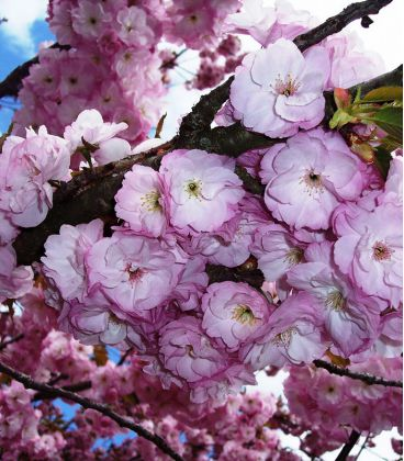 Prunus Serrulata Kanzan / Cerisier à fleurs Du Japon