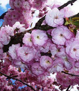 Prunus Serrulata Kanzan / Cerisier Fleurs Hisakura Kanzan