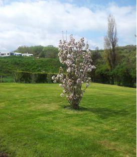 Prunus Serrulata Amanogawa / Cerisier Fleurs Amanogawa