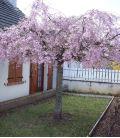 Prunus Serrulata Kiku-Shidare-Zakura / Cerisier à fleurs Pleureur