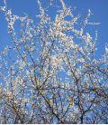 Prunus Spinosa / Epine Noire, Prunellier