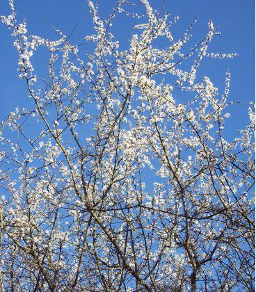 Prunus Spinosa Origine Locale / Epine Noire, Prunellier