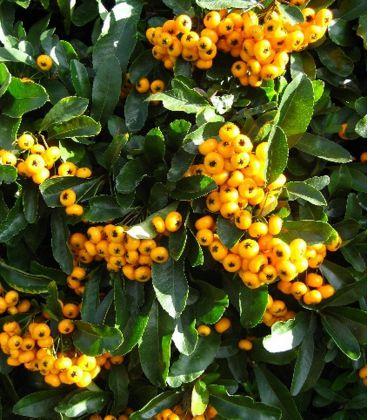 Pyracantha Fruits Jaunes / Buisson Ardent Jaune