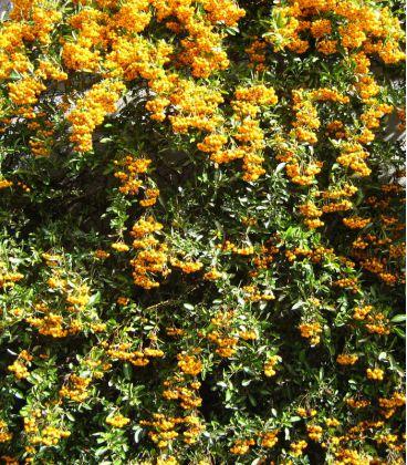 Pyracantha Fruits Jaunes / Buisson Ardent Fruits Jaunes