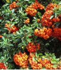 Pyracantha Fruits Orange / Buisson Ardent Fruits Orange