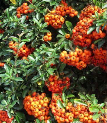 Pyracantha Fruits Orange / Buisson Ardent Orange