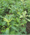 Quercus Cerris / Chene Chevelu de Bourgogne