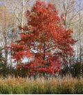 Quercus Coccinea / Chene Ecarlate