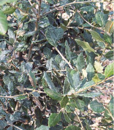 Quercus Ilex / Chene Vert
