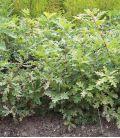 Quercus Lanuginosa / Chene Pubescent, Blanc