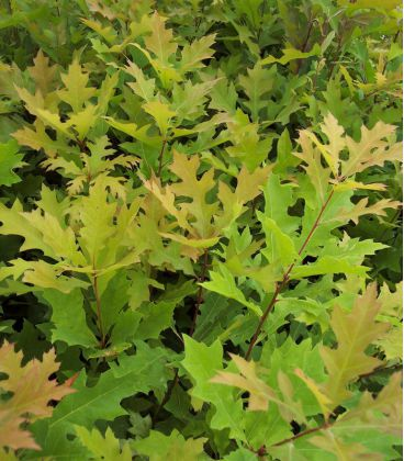 Quercus Palustris / Chene Palustre