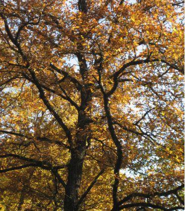 Quercus Robur / Chene Pedoncule
